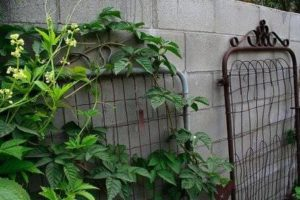 Old gates as trellises for peas and other plants.