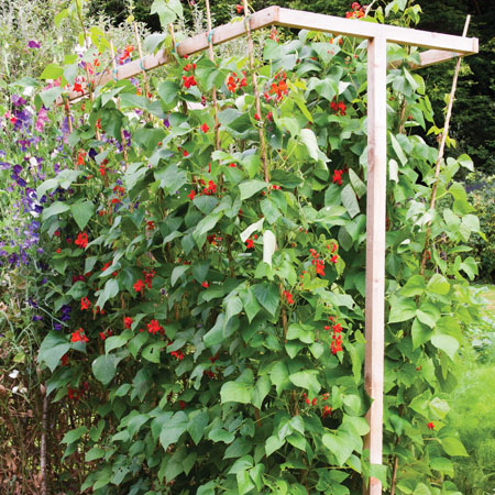 Splayed trellis support for peas and beans.