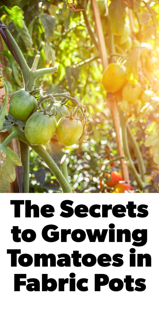The secrets to growing tomatoes in fabric pots