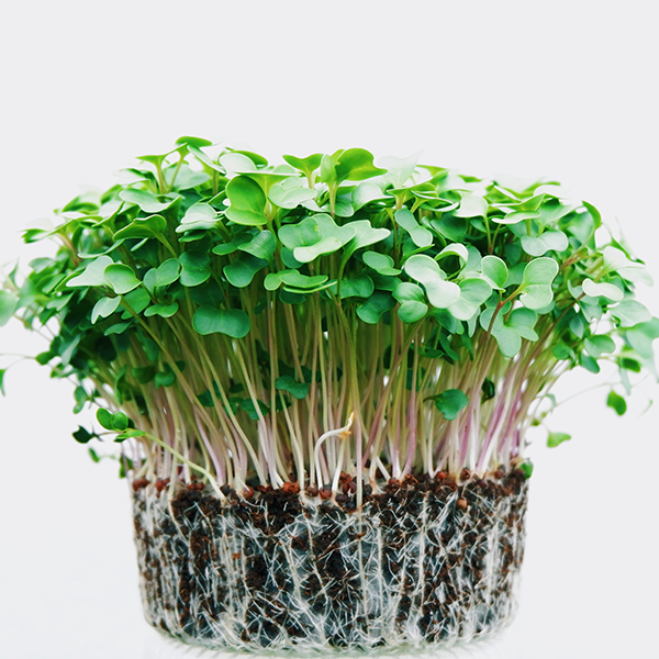 MicroGreens are great for gardening indoors