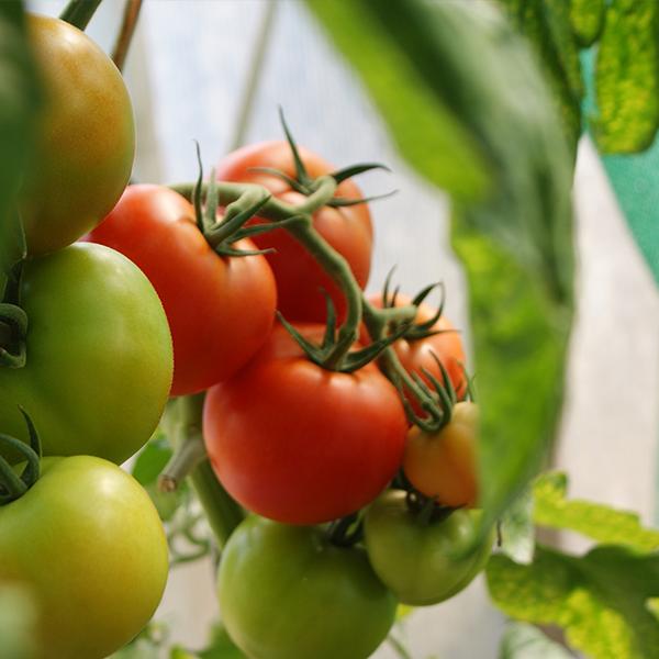 Growing tomato plants indoors