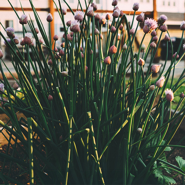 Chives are super easy to grow indoors year round