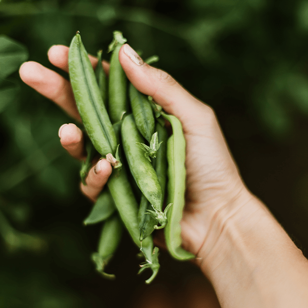 Peas are great for growing indoors