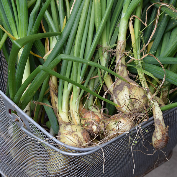 Scallions or green onions are great to grow indoors.