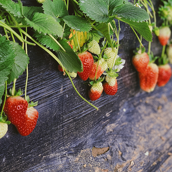 Strawberries are great for indoor gardening in an apartment