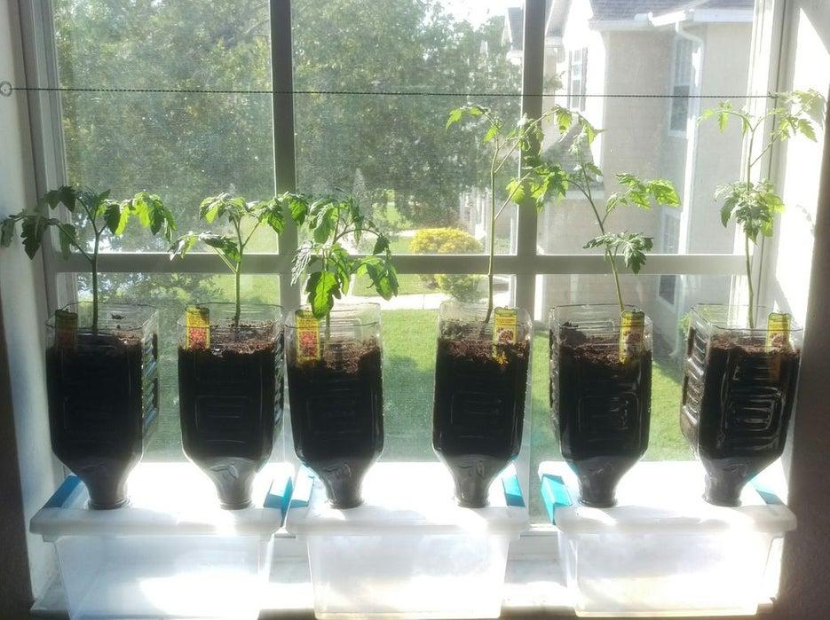 Tomatoes growing in a windowsill garden.